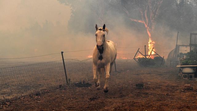 Australie: un demi-milliard d'animaux morts contre 18 humains dans les incendies
